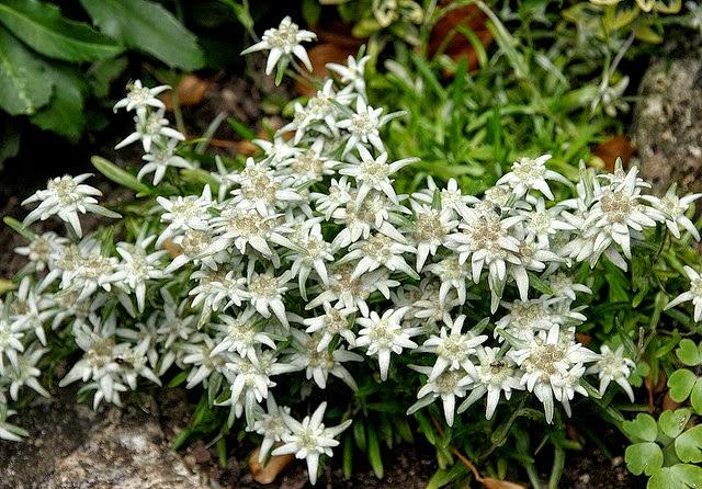 Edelweiss (2)