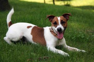 jack_russell_terrier_2-1024x6821